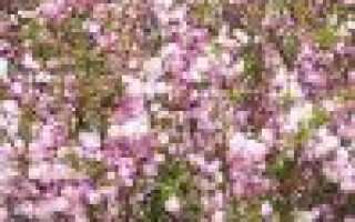 Как цветёт миндальный орех: фото цветения, почему не цветёт и что делать при этом