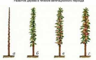 Обрезка колоновидных яблонь осенью: схема, как обрезать, как формировать, уход