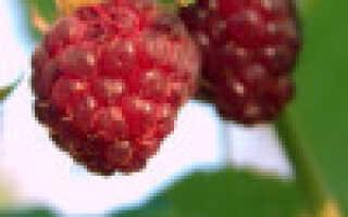 Малина садовая: сорта и разновидности — традиционная, ремонтантная, бесшипная, штамбовая (малиновое дерево)