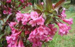Вейгела цветущая Нана Пурпуреа (Nana Purpurea, Пурпурная): посадка и уход в открытом грунте, фото и описание