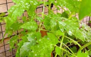 Болезни рассады томатов: описание и способы их лечения, фото, видео