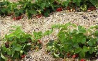Как размножается клубника: способы размножения, все тонкости процесса