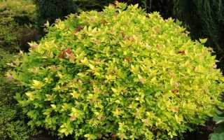 Спирея Голдмаунд (Spiraea japonica Gold Mound): фото и описание, посадка и уход