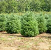 Сосна веймутова Минима (Pinus strobus Minima): фото и описание, посадка и уход, использование в ландшафтном дизайне