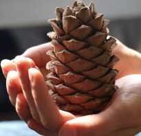 Когда можно собирать шишки кедра: в какое время поспевают кедровые орехи, в каком месяце лучше собирать, когда начинается сезон