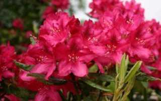 Рододендрон гибридный Хеллики (Hellikki): описание кустарника, особенности выращивания сорта, фото, использование в ландшафтном дизайне