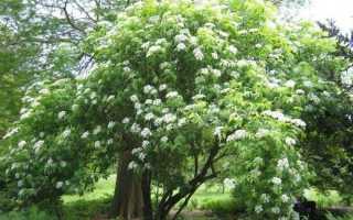Бузина канадская (Sambucus canadensis): декоративные деревья и кустарники, описание и фото, посадка и уход