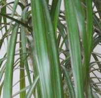 Сохнут листья у драцены: почему и что делать, как спасти растение, фото