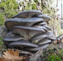 Вёшенка степная: описание гриба, где произрастает, как размножается, полезные лекарственные свойства