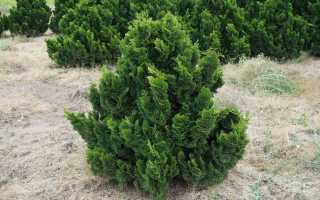 Кипарисовик тупой: 10 популярных сортов с описанием и фото, зимостойкость растений, посадка и уход