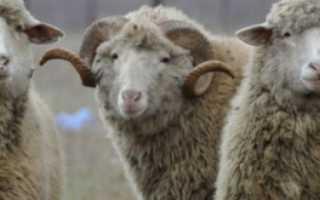 Цигайская порода овец: характеристика породы, основные достоинства и недостатки, внешний вид, фото