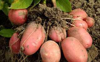 Картофель Розара: описание и характеристика сорта с фото, вкусовые качества и содержание крахмала, особенности выращивания и хранения, видео