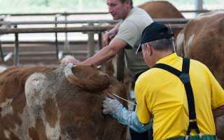 Искусственное осеменение коров и телок, техники и методы