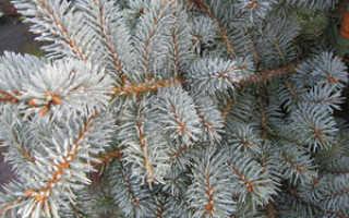 Ель колючая Глаука Компакта (Picea pungens Glauca Compacta): описание и фото, уход за деревом на штамбе, использование в ландшафтном дизайне