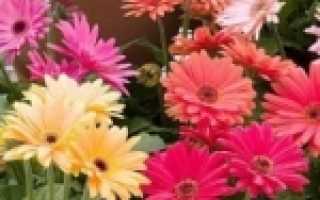 Гербера Джемсона: описание с фото, выращивание из семян, особенности ухода и размножения в домашних условиях, видео