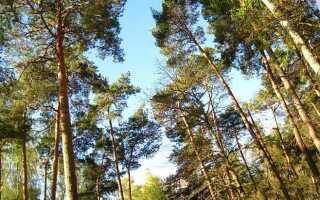Сколько лет живёт сосна обыкновенная в природе, средний и максимальный возраст дерева