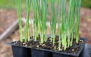 Как вырастить лук-порей рассадой: посадка и выращивание в домашних условиях