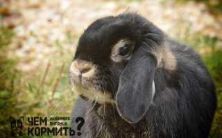 Кролик Французский баран: характеристика и описание породы, фото, содержание и разведение, чем кормить, видео