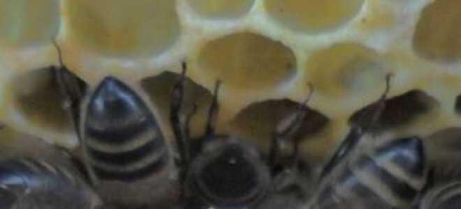 Клуб пчёл: движение весной и во время зимовки, оптимальная температура, расположение, почему не собираются в клуб, фото, видео