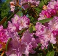 Рододендрон якушиманский (Yakushimanum): описание с фото, сорта (Голден Торч, Калинка, Лумина)