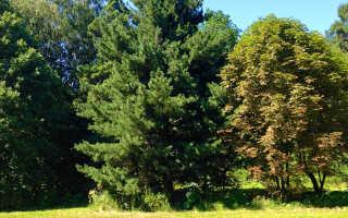 Сосна румелийская: описание дерева, правильная посадка и уход, размножение, зимостойкость, применение в ландшафтном дизайне
