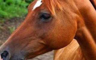 Арабская порода лошадей: характеристика, содержание и уход, профилактика болезней, фото