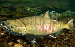 Ударение в слове «кета»: на какой слог и букву ставить ударение, описание рыбы