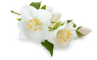 Полезные свойства, вред и противопоказания для здоровья цветков и листьев жасмина, лечебные свойства варенья из жасмина
