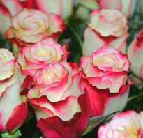 Роза свитнес: фото и описание, выращивание и уход в открытом грунте