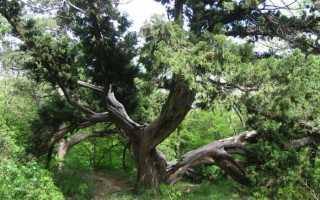 Где растёт можжевельник в России: в Подмосковье, в Краснодарском крае, в Татарстане, в каких лесах