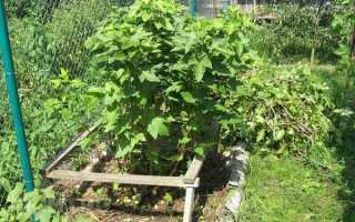 Пересадка куста чёрной и красной смородины весной на новое место, в каком месяце проводится