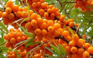 Облепиха Гном: описание и фото сорта, разница между мужским и женским деревом, способы размножения, посадка и уход