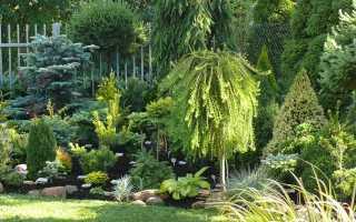 Лиственница Диана: ботаническое описание, преимущества и недостатки, выращивание на штамбе и в открытом грунте, как выглядит в ландшафтном дизайне