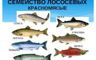 Кета или горбуша: что вкуснее и полезнее, основные отличия, что жирнее и дороже, какая рыба лучше для засолки, сравнение с фото