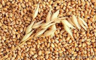 Отличия озимой и яровой пшеницы: чем отличаются и какая лучше, как отличить визуально, какая между ними разница