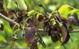 Болезни груши: чернеют листья и плоды, причины, методы лечения и профилактика, фото