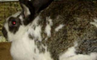 Беременность у кроликов: сколько длится, как определить, окрол крольчихи