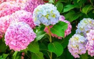 Когда пересаживать гортензию на другое место: весной или осенью, как правильно пересадить на новое место, можно ли пересадить цветущую