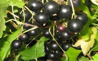 Сорт крупноплодной чёрной смородины Глобус: внешний вид и описание, агротехника, фото, отзывы