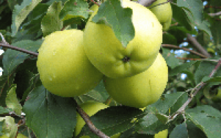 Яблоня Свердловчанин: характеристика и описание сорта, особенности посадки и ухода за деревом, фото