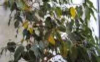 Почему фикус сбрасывает листья: основные причины и что делать, чем подкормить растение, фото