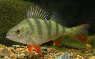 Рыба ёрш: фото и как выглядит, где обитает, отличия от окуня, описание и размер, семейство пресноводной рыбы