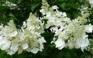 Гортензия метельчатая Вайт Леди (Hydrangea paniculata White Lady) или Белая леди: описание и фото сорта