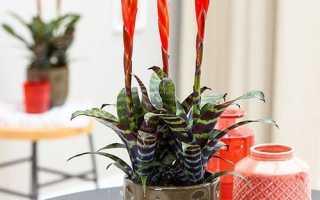 Вриезия спленриет: описание растения, выращивание и уход в домашних условиях, как поливать и пересаживать, фото