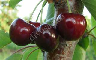 Черешня Свитхарт: описание и характеристика сорта, выращивание и уход, фото