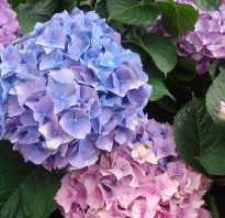 Гортензия садовая: многолетняя или однолетняя, фото и описание декоративных деревьев и кустарников, как выглядит цветок и как ухаживать за уличной