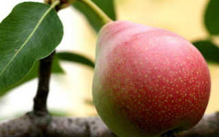Груша Лесная красавица: описание и характеристика сорта, особенности агротехники при посадке и уходе, фото