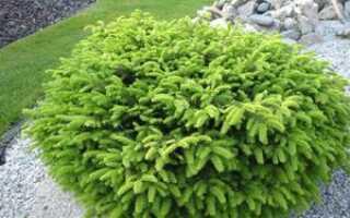 Ель Нидиформис (picea abies Nidiformis): использование в ландшафтном дизайне, фото и описание, посадка, уход и размножение