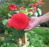 Бегония красная: описание с фото, уход, размножение комнатного растения в домашних условиях