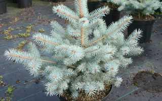 Ель голубая (колючая) Блю Даймонд (Picea pungens Blue Diamond): фото и описание, применение в ландшафтном дизайне